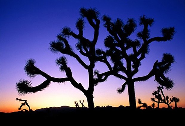 Joshua trees in the mojave deser, silhouetted against a purple night sky.