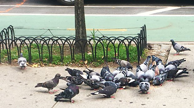 a large group of pigeons on a sidewalk eating scattered crumbs